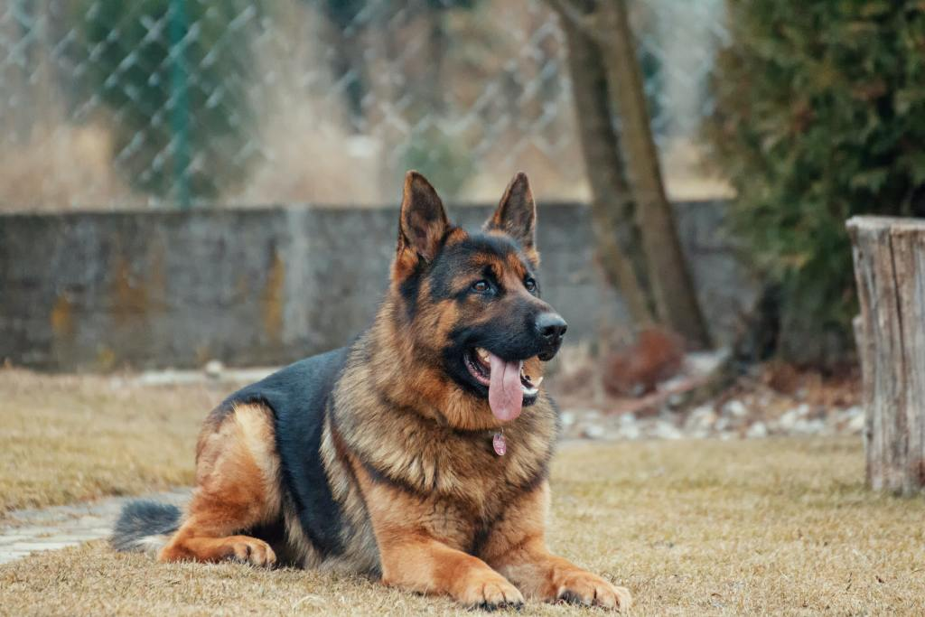 Image of the dog breed - German Shepherd Dog in Top 10 Dog Breeds In India