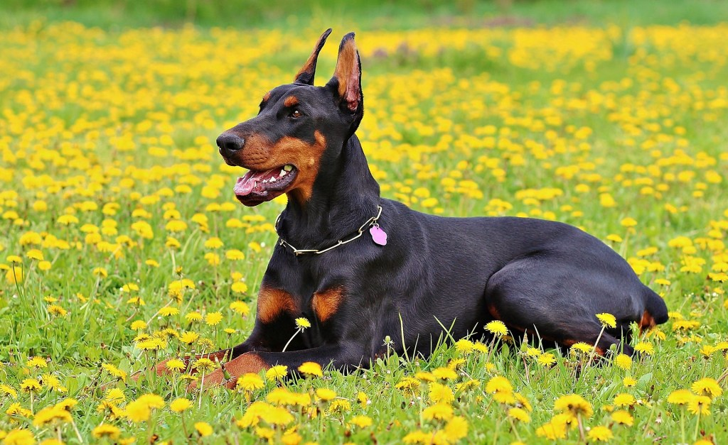Image of a Doberman Pinscher in the article Popular Dog Breeds from A-Z