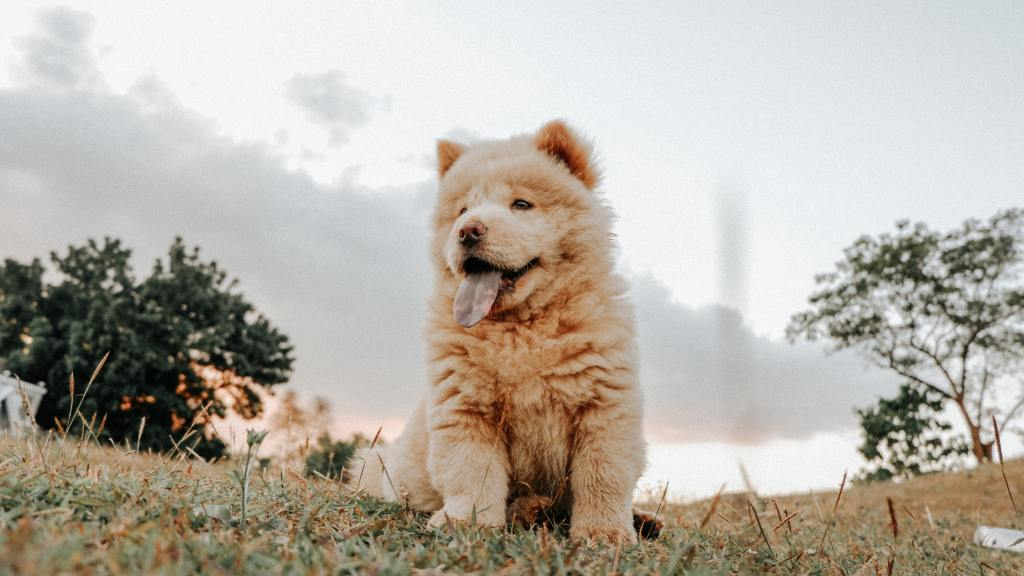 Image of a Chow Chow in the article Popular Dog Breeds from A-Z