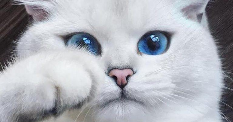 rinotraqueite felina