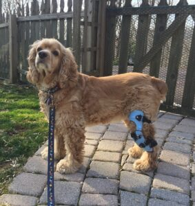 Frequently Asked Questions About Knee Braces From My Pet's Brace 3