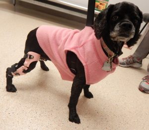 Case Study: Lucy – a Cocker Spaniel with a Stifle Brace for a Postsurgical CCL Repair 1