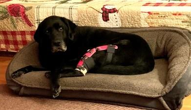 Case Study: Sophie - Labrador Retriever With A CCL Injury 2