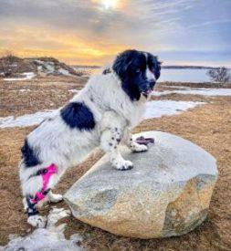 Dog Wearing Knee Brace