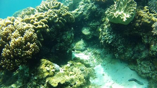 Apo Banded Sea Krait