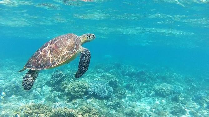Apo Turtle