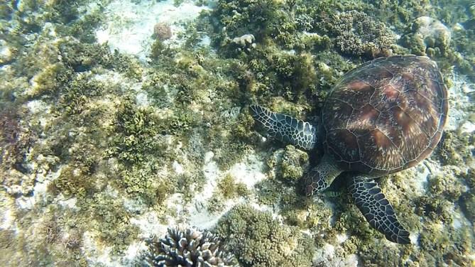Apo Turtle Eating Sea Grass
