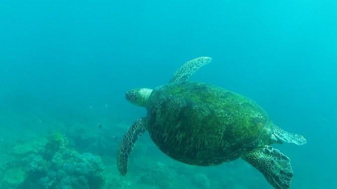 Big Turtle Dauin