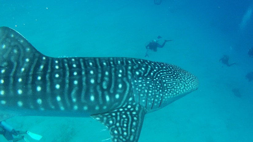Oslob Whale shark cruising by