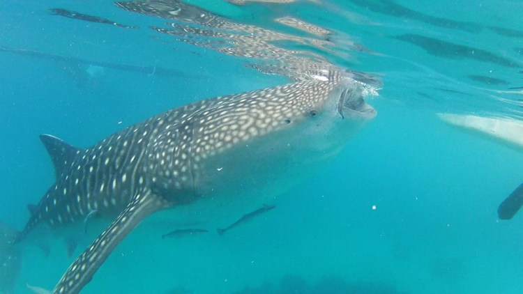 Whale Shark Open Mouth 2