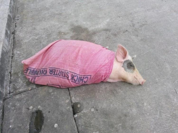 Pig in a BAg