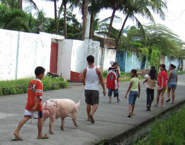 Boar on his way to a new assignation - Socorro Subdivison, Iloilo City