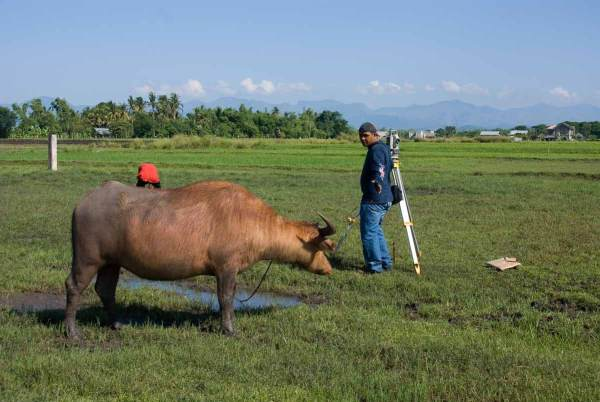 "Carabao ""helps"" our surveyor....."
