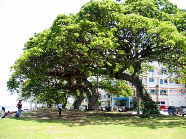 """Giant Acacia trees along the """"Boulevard"""".  The building behind the trees is the Bethel Guest House."""