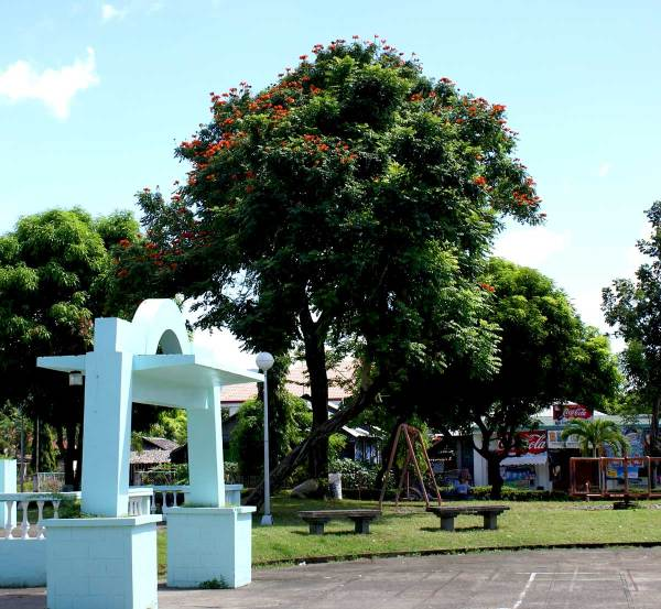 African Tulip Tree (Spathodea campanulata) in municipal plaza, Tibiao, Antique Province, Philippines