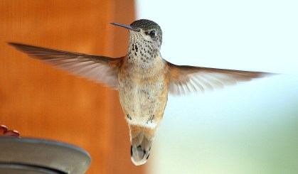 Hummingbird - May 2012