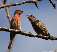 house finch pairing copyrighted