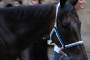 Siegerpferd Palio 2013