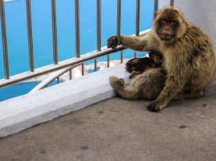 Gibraltar Apes with baby