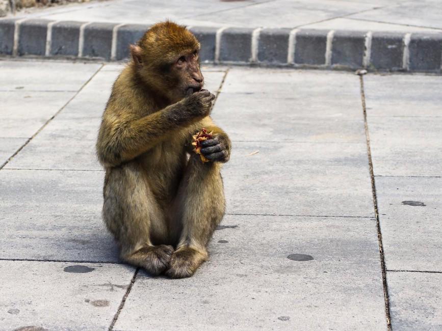 Gibraltar apes
