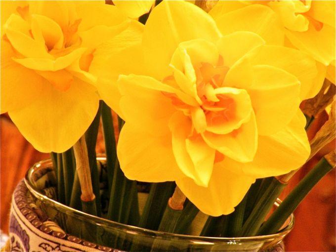 daffodils16