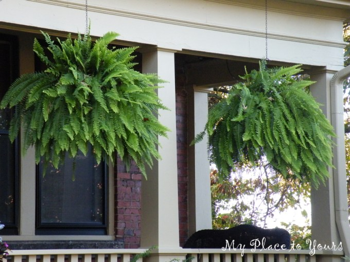 Hanging Ferns1