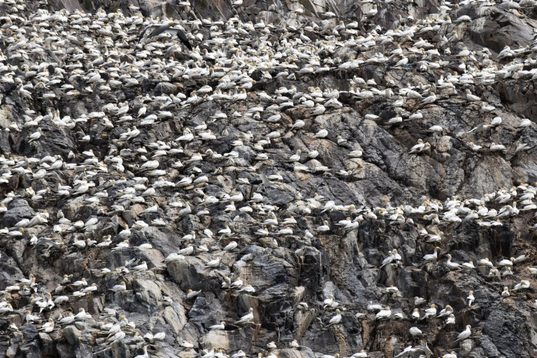 Hundreds of white birds on a big white rock.