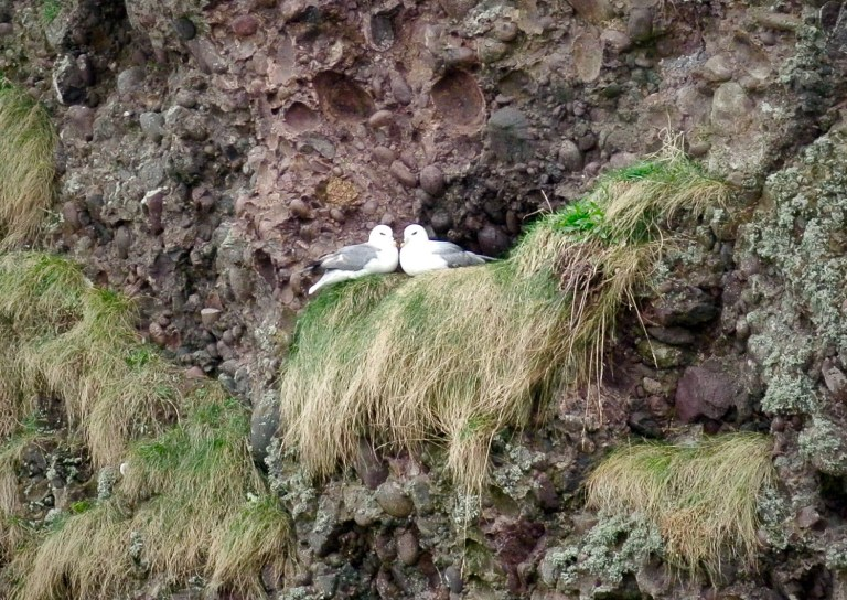 Two white and gray birds sitting face to face on a sea cliff.