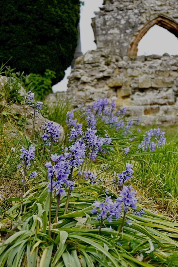 Purple flowers in front of the ruins of Kinloss Abbey.