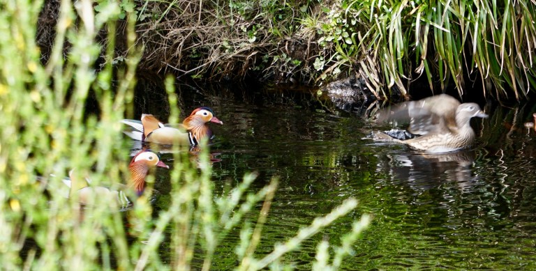 Two male Mandarin ducks and one female Mandarin duck swimming in a river.