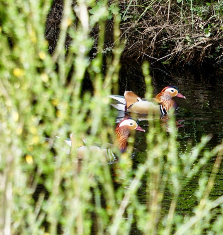 Two male Mandarin ducks swimming in a river.