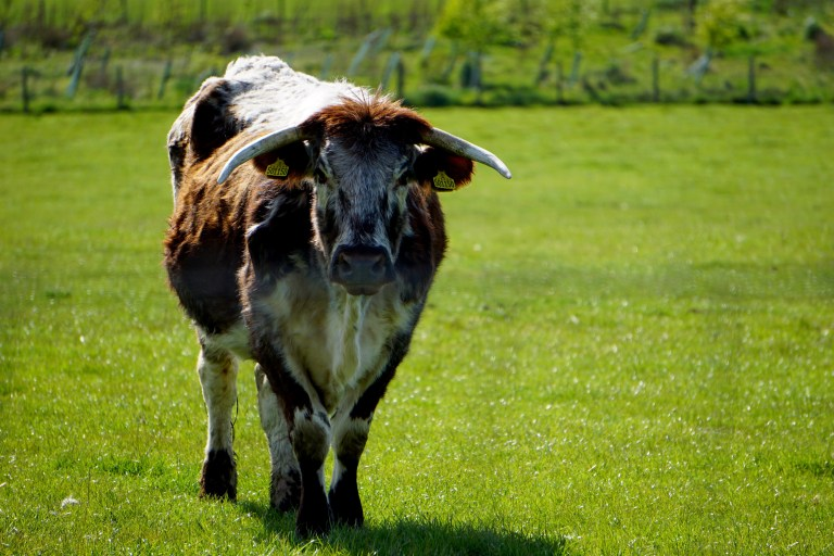 A steer in Scotland.