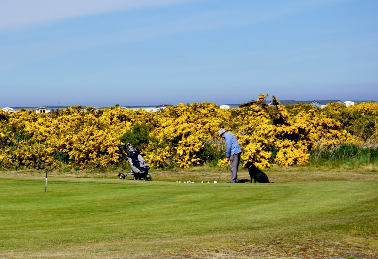 A golf course in Scotland borders by a wall of yellow gorse flowers and an old man in a blue sweater with his dog playing golf.