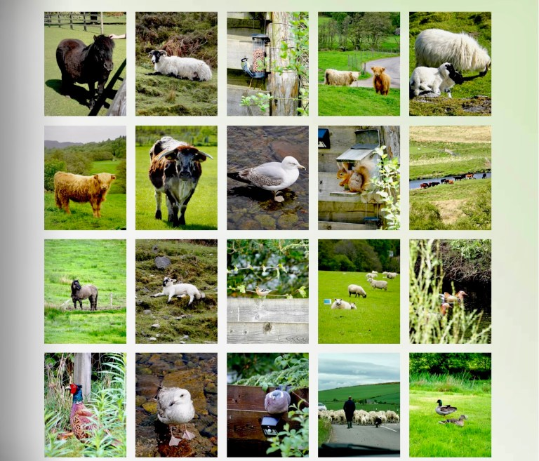 A collage of various animals in Scotland, including Highland Cows, sheep, red squirrels, and a pheasant.