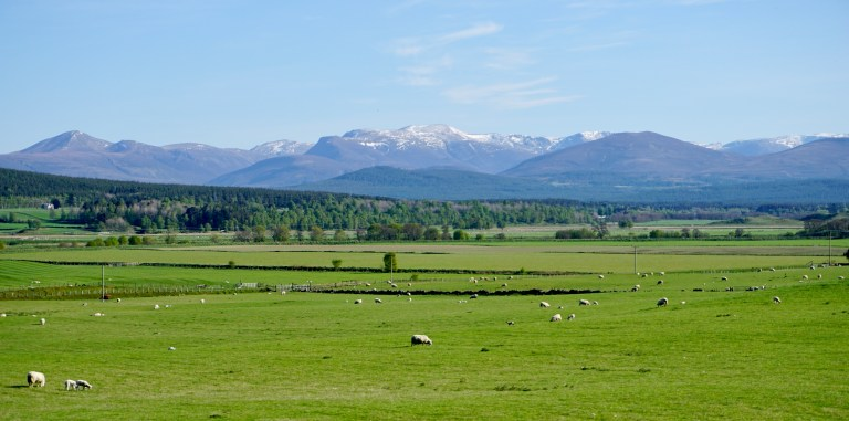 Sheep grazing in a green field in Scotland.  Snow capped mountains in the background.