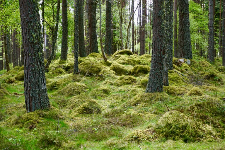Moss covered hills in a wood.