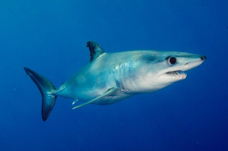 акулы всех видов фото с названиями помните незнание закона