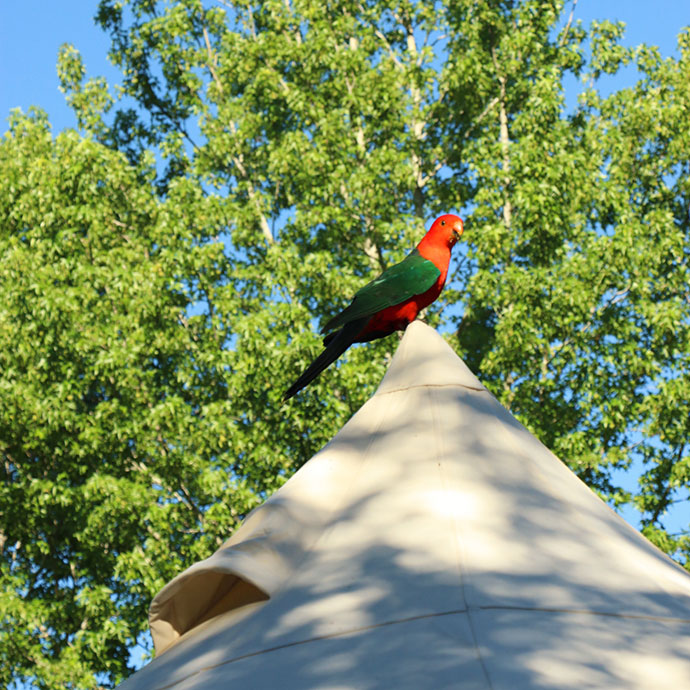 King parrot on tent