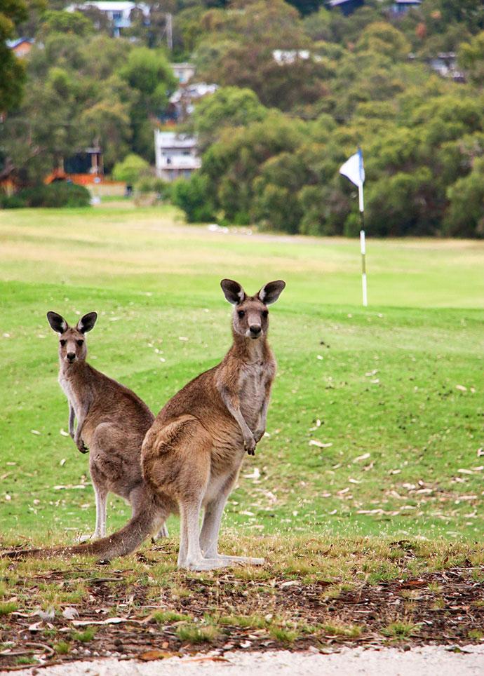 Anglesea Golf course Kangaroo tour mypoppet.com.au