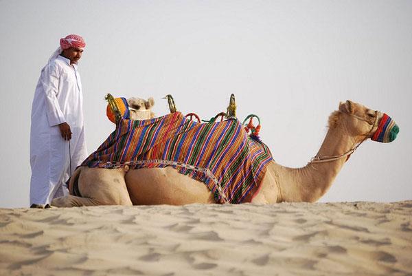 dubai-camel