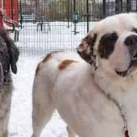 Staff try to find forever home for inseparable Saint Bernard brothers
