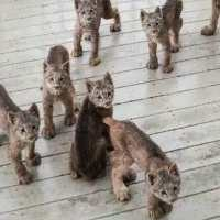 Man surprised to find an entire family of lynx playing on his porch