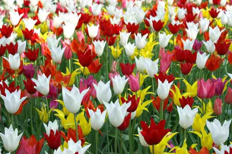 tulips-holland-spring-nature-landscapes-809031-1024