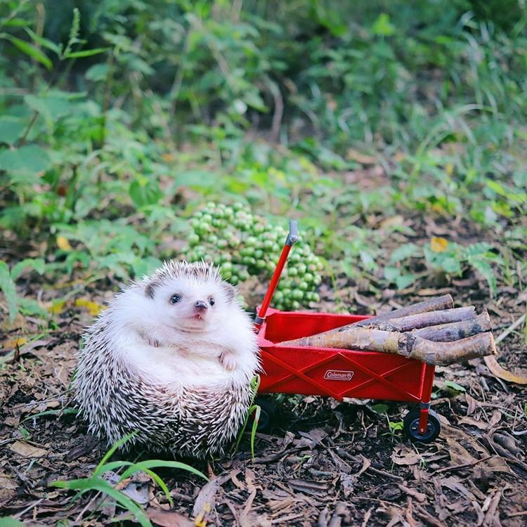 azuki-camping-hedgehog-6