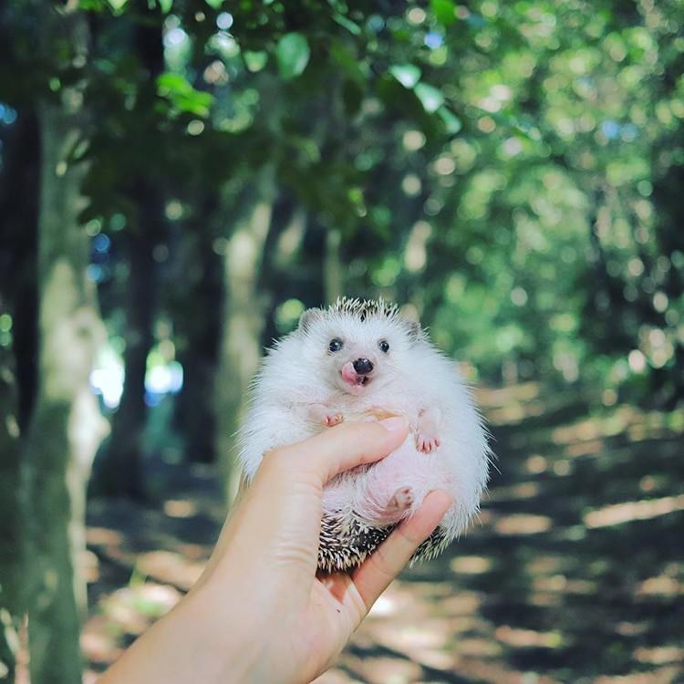azuki-camping-hedgehog-8