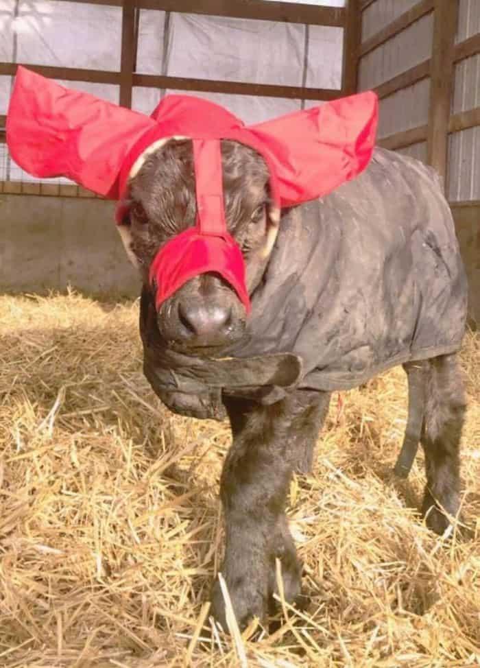 cute-cows-earmuffs-5d1b455b6a4d8__700