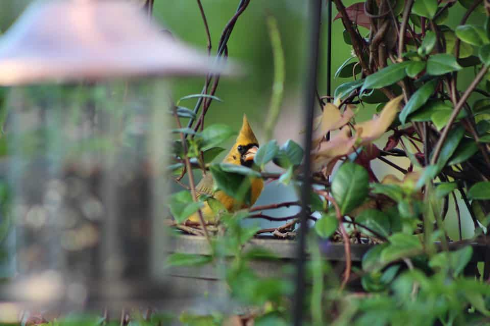 A rare yellow cardinal spotted in Florida.