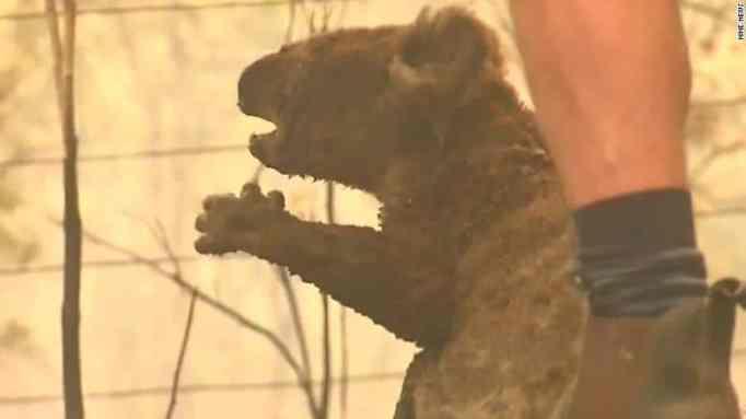 Koala saved from bushfire.