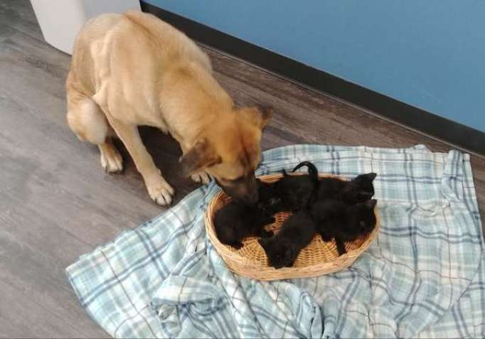 Dog becomes a protector to orphaned kittens.