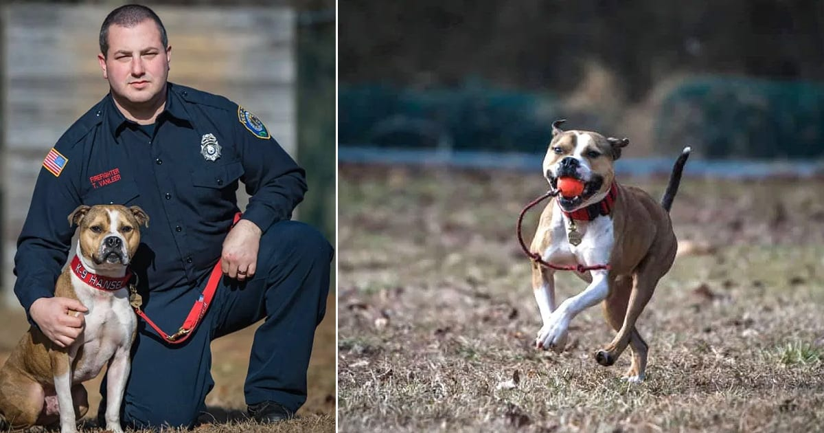 Rescue dog makes history as first ever pit bull to graduate as an arson detection K9 officer - my positive outlooks